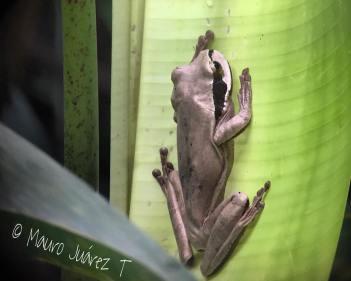 Masked-treefrog