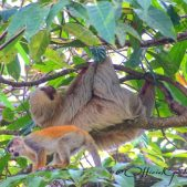 Two-toed sloth and squirrel monkey.