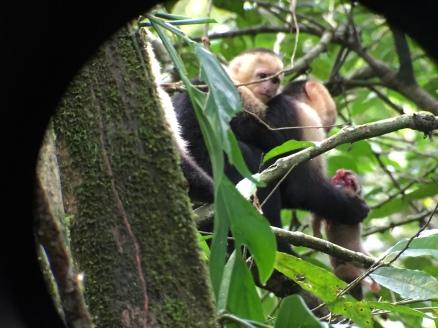 white-faced monkeys eating an opposum