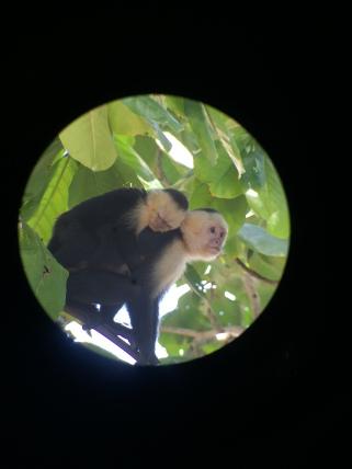 Mom and baby capuchin monkey