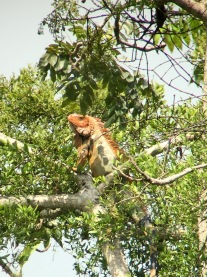 Green iguana (adult male)